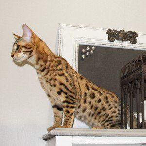 náhled Zdravé kotě Savannah a Bengálsko